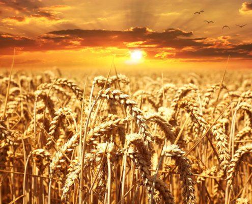 Weizen und Gluten